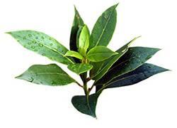 Масло чайного дерева от прыщей